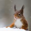 Eekhoorn in de sneeuw - door Lucien