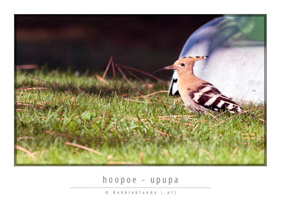hoopoe.jpg