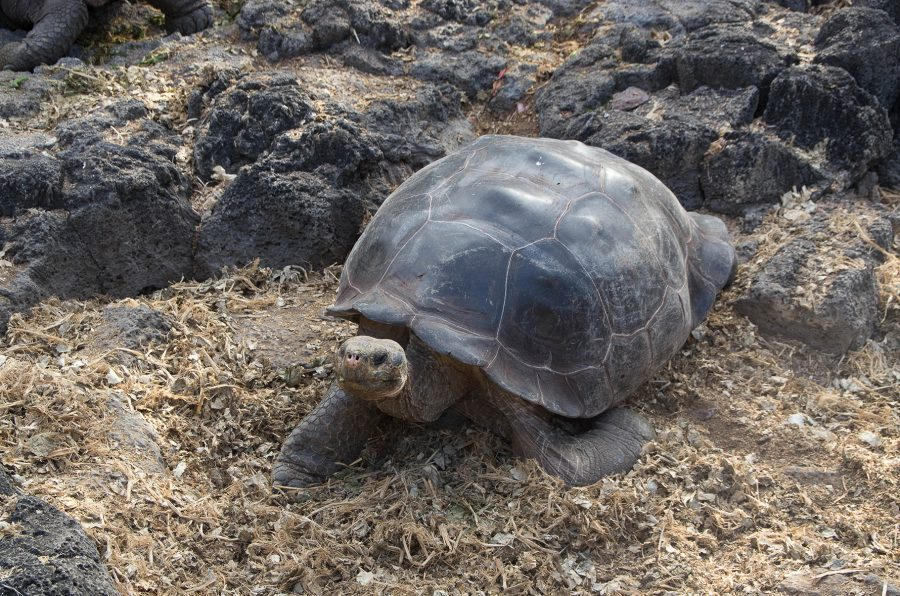 Reuze schildpad.jpg